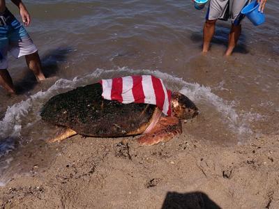 Massive loggerhead turtle 0907019