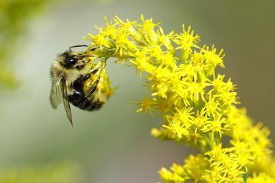 Pollen allergies