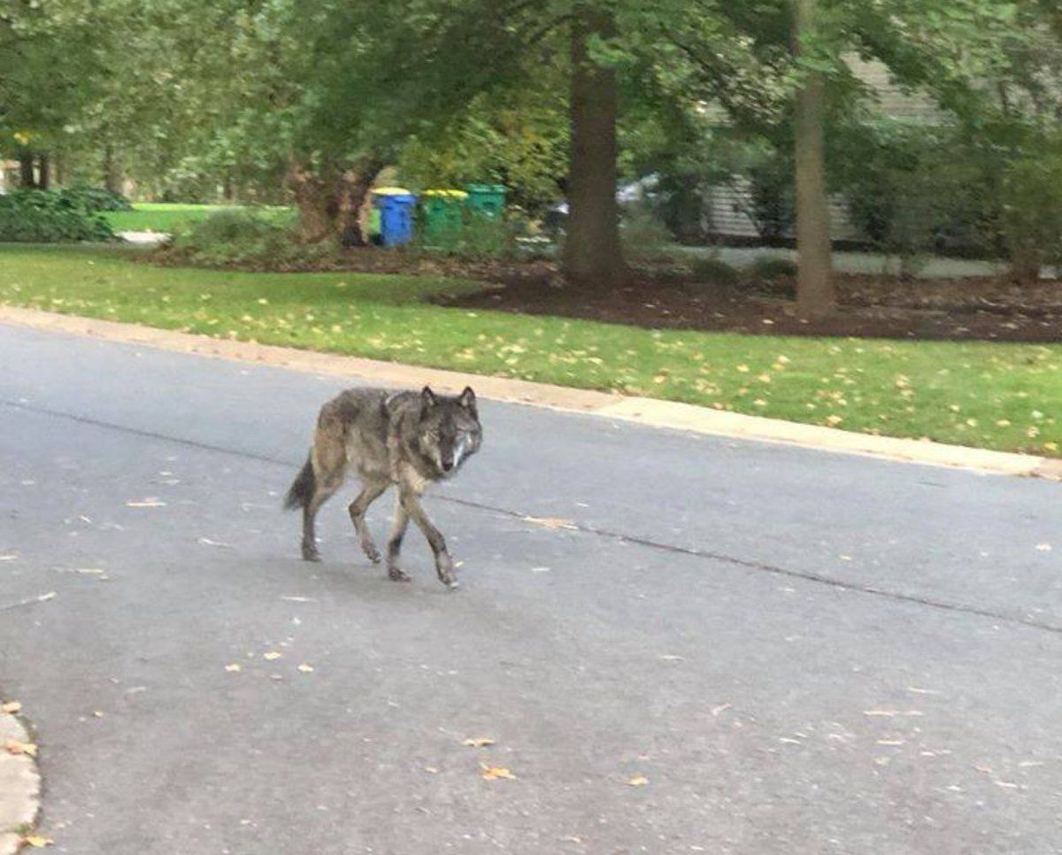 UPDATE | Is it a wolf?  Is it dog? Whatever it is, it's been caught in Brandywine Hundred | WDEL
