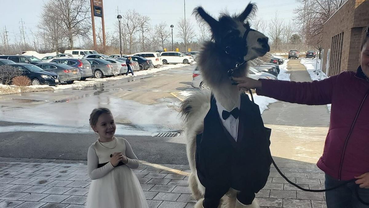 Bride's face when her brother shows up with a llama as wedding guest goes viral: Not 'thrilled'