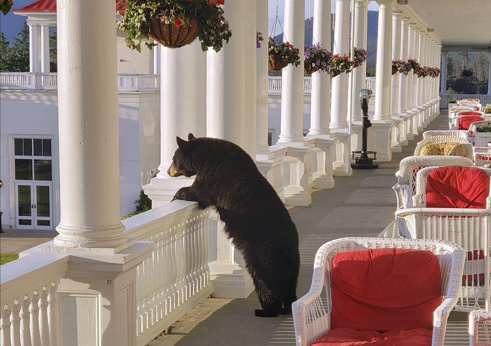 BEAR AT NEW HAMPSHIRE HOTEL - AP- 7-11-19 1.jpeg