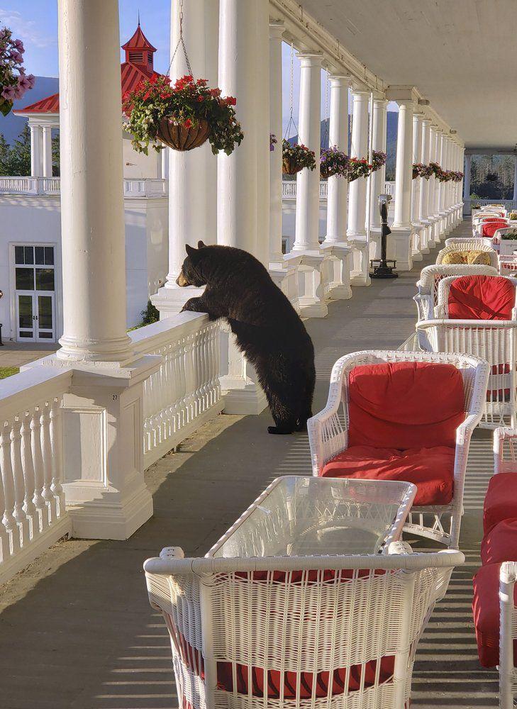 BEAR AT NEW HAMPSHIRE HOTEL - AP- 7-11-19 2.jpeg