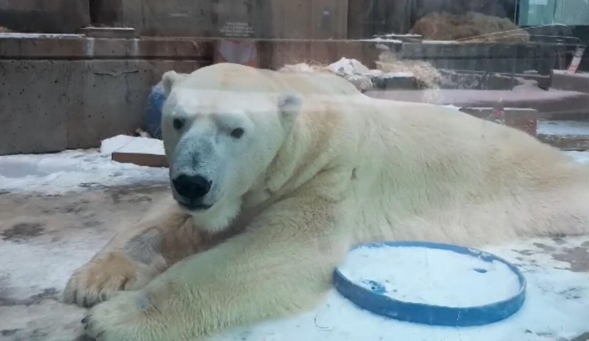 Lee, a 20-year-old male polar bear at The Louisville Zoo