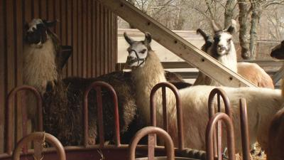 Metro Animal Services says llama attack in upper Highlands was 'canine in nature'