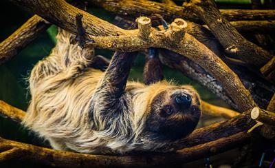 Sunni the sloth