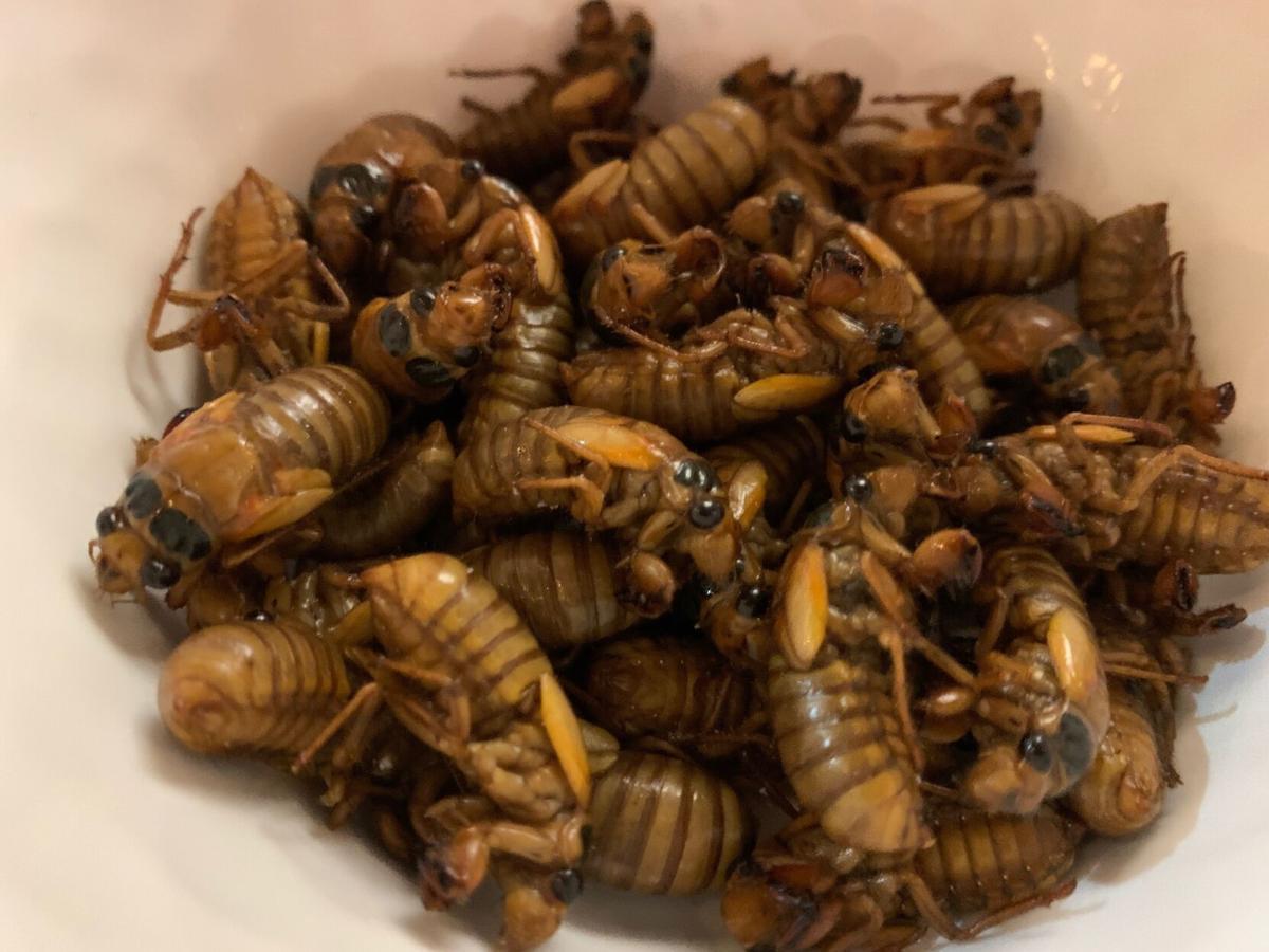 Cicadas KK