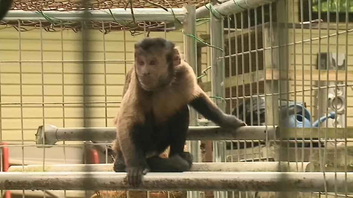 RUNAWAY MONKEY - OHIO - 6-11-19 - CNN 1.jpg