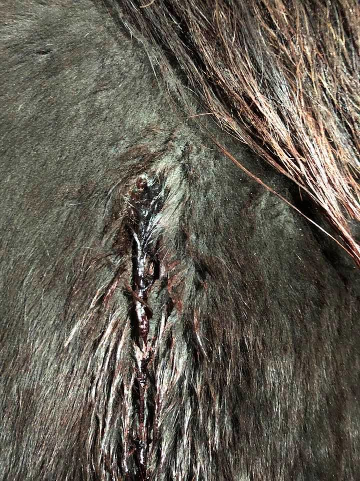 Graphic Horse Abuse
