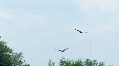 Vultures flying in southern Indiana