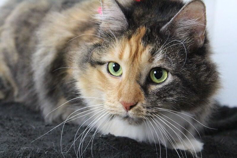 Pixel, cat from Kentucky Humane Society.jpg