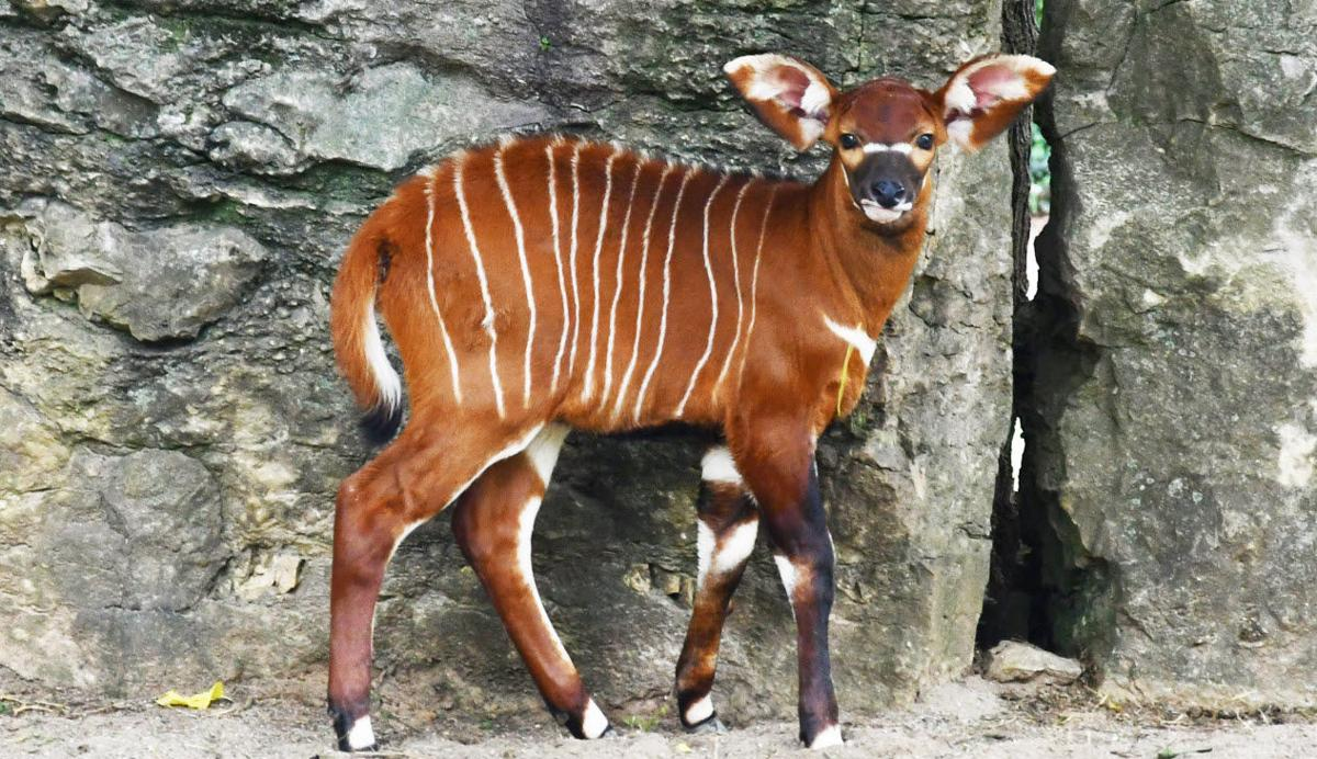 Winning name for Louisville Zoo's new bongo calf inspired by