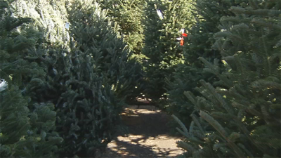 Amazon to deliver real 7-foot Christmas trees this year