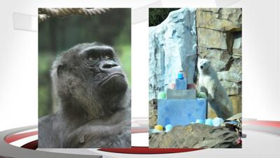 Louisville Zoo planning birthday celebration for Helen the gorilla and Qannik and polar bear