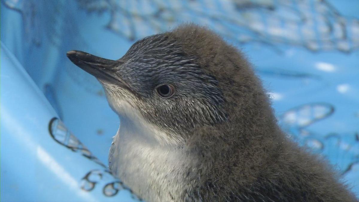 Baby penguin 1.jpg