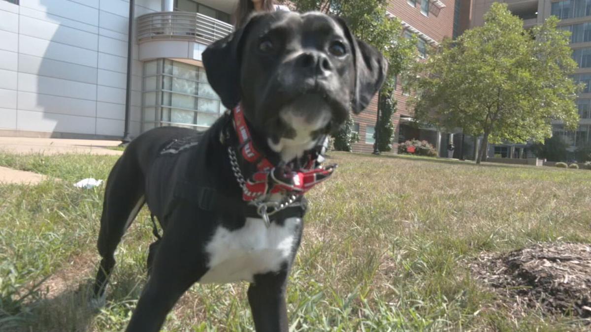 UofL Health therapy dog Roo (1).jpeg
