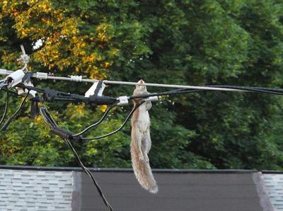 Electrocuted Squirrel