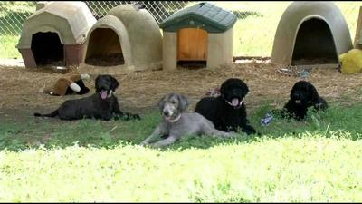 Paoli poodles making dramatic recovery after horrifying