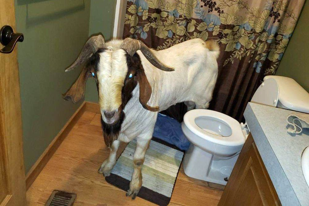 GOAT IN A BATHROOM - AP 10-8-19 1.jpeg