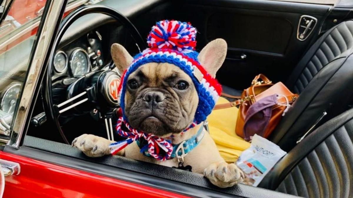 Mayor Wilbur Beast the French bulldog