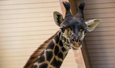 Louisville Zoo now home to 1-year-old female giraffe