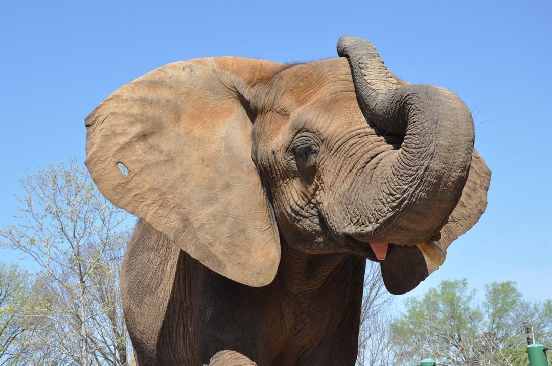 Louisville Zoo's Mikki the elephant is having a baby!