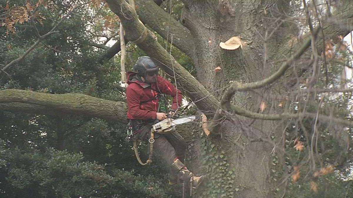 Old Oak Tree Limb Cut