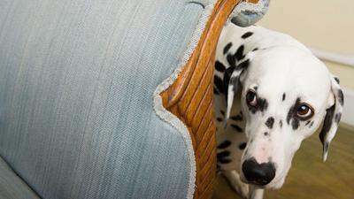 Dog Hides Behind Sofa
