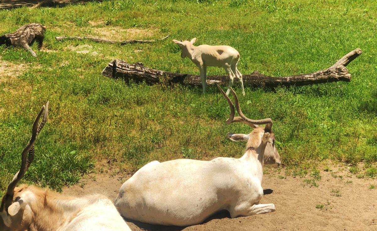Louisville Zoo addax calf