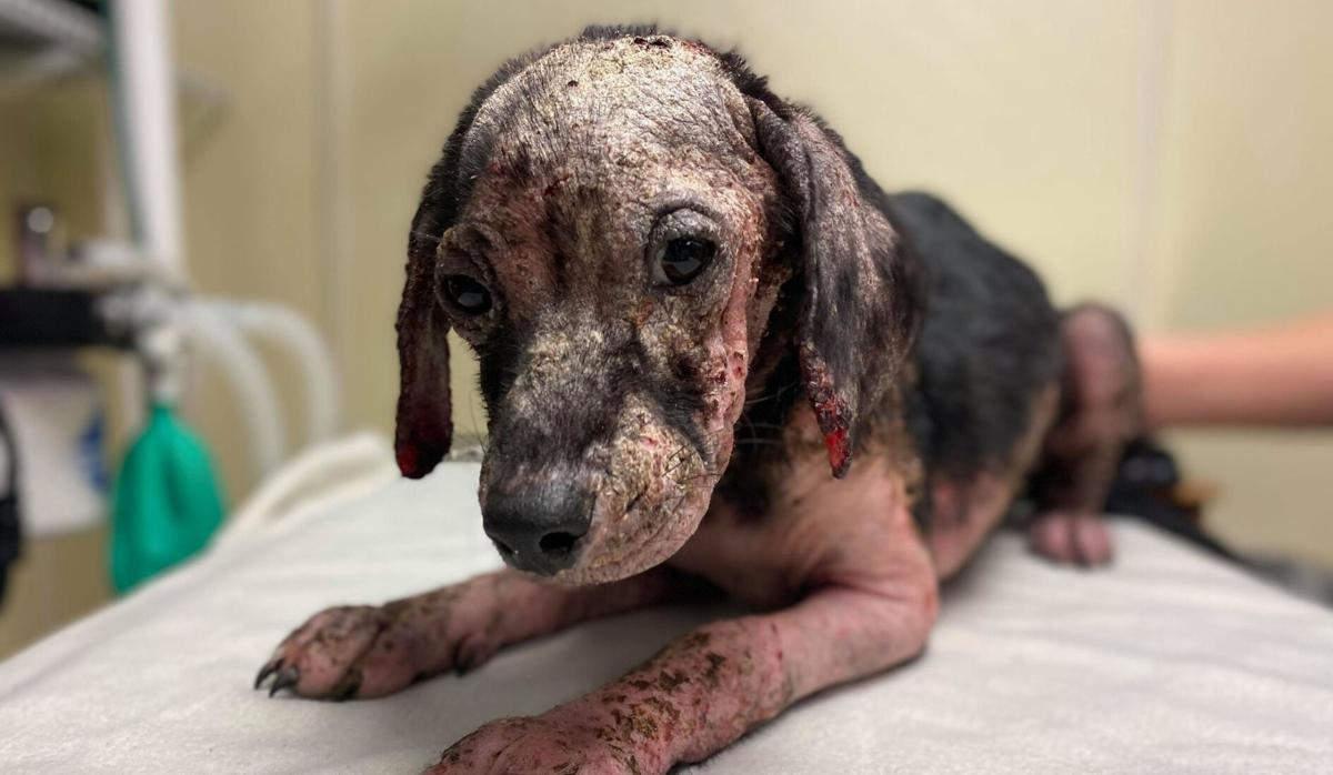 Malnourished puppy left at the Kentucky Humane Society on Friday, Sept. 17, 2021