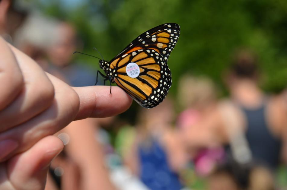 Flutter Fest to release 1,000 Monarch Butterflies at the Louisville Zoo Sept. 21