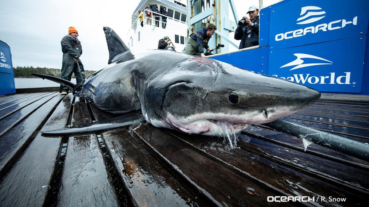 Vimy Shark 10-19-19 Fox.jpg