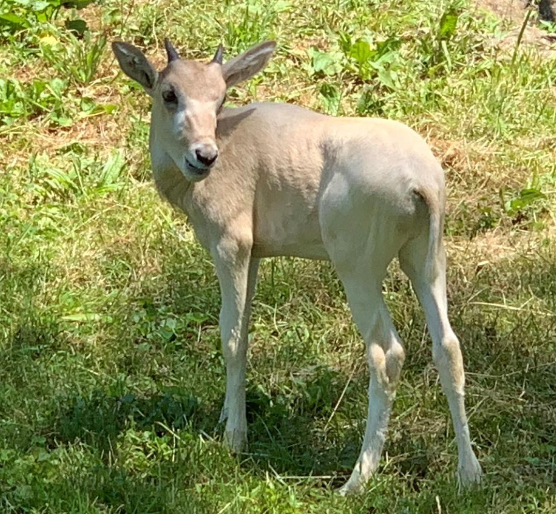 Louisville Zoo addax calf 2