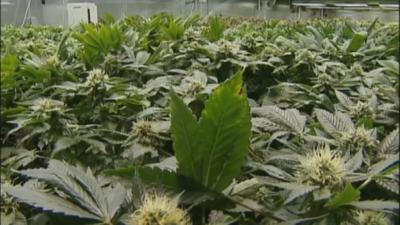 Feds to begin cracking down on states with recreational marijuana