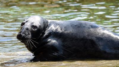 2 gray seals added to Louisville Zoo's 'Glacier Run' exhibit