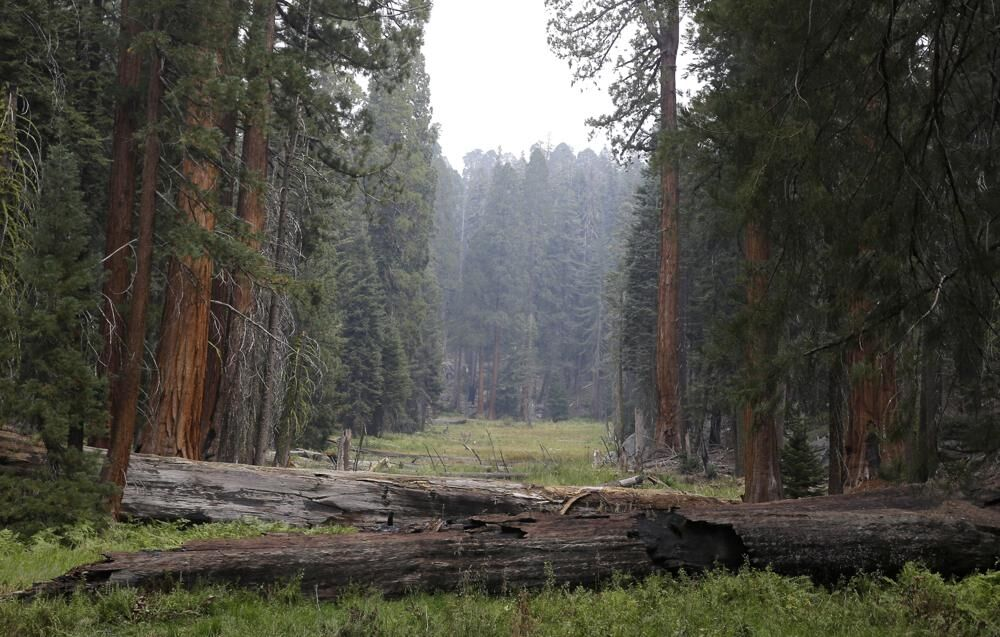 Giant Sequoia trees in meadow