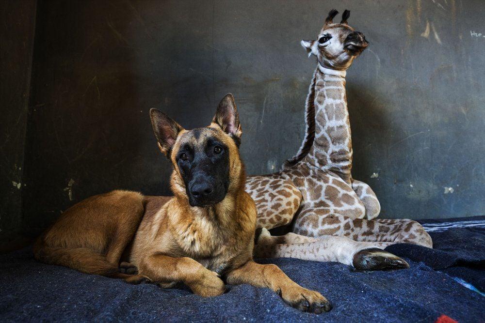 DOG AND BABY GIRAFFE - FRIENDS - AP 11-22-19 1.jpeg