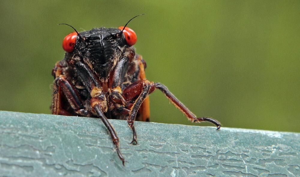 cicadas 2
