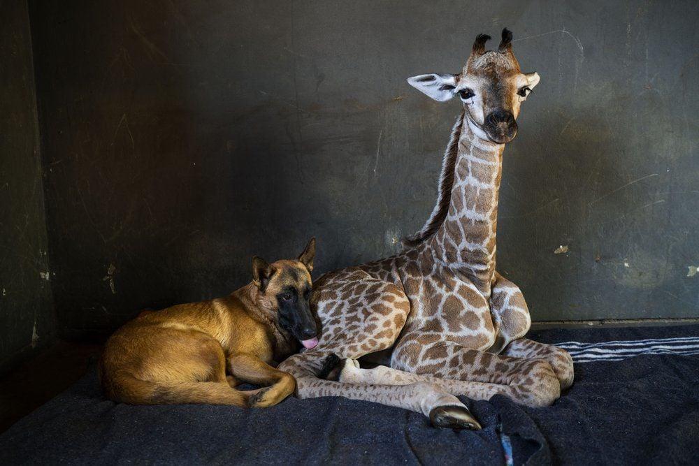 DOG AND BABY GIRAFFE - FRIENDS - AP 11-22-19 5.jpeg
