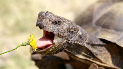 Tortoise eating dandelion