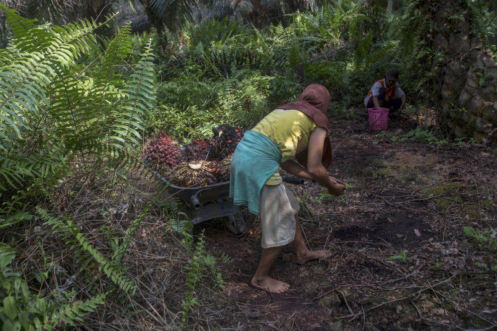 palm oil worker 11-21-20 ap.jpeg
