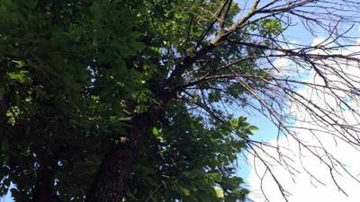 Louisville trees threatened by Emerald Ash Borer