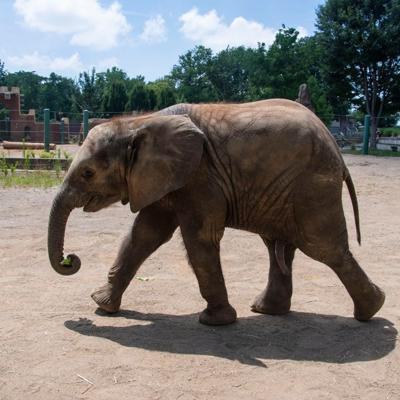 Fitz the elephant celebrates first birthday on Sunday at Louisville Zoo