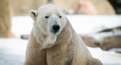 Lee - Polar bear at The Louisville Zoo