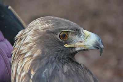 Golden Eagle at Bernheim Forest