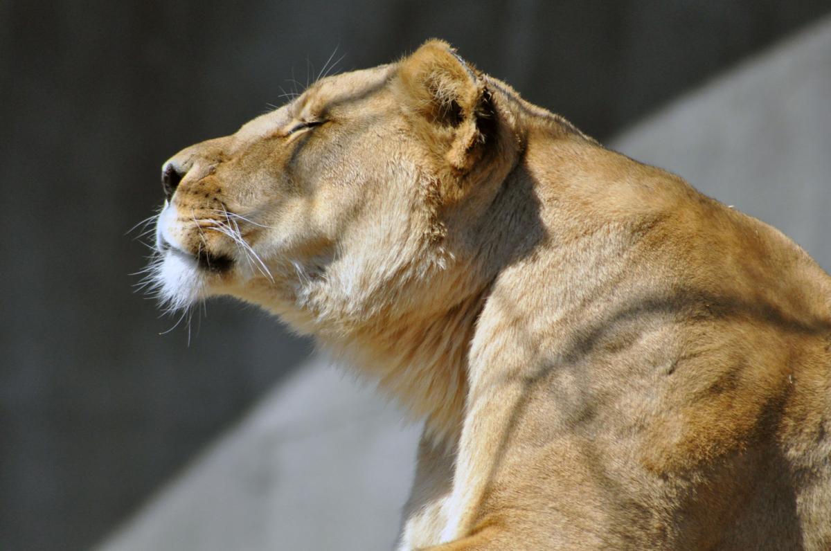 LOUISVILLE ZOO kariba the lion obit 2-1-19  2 - courtesy zoo.jpg