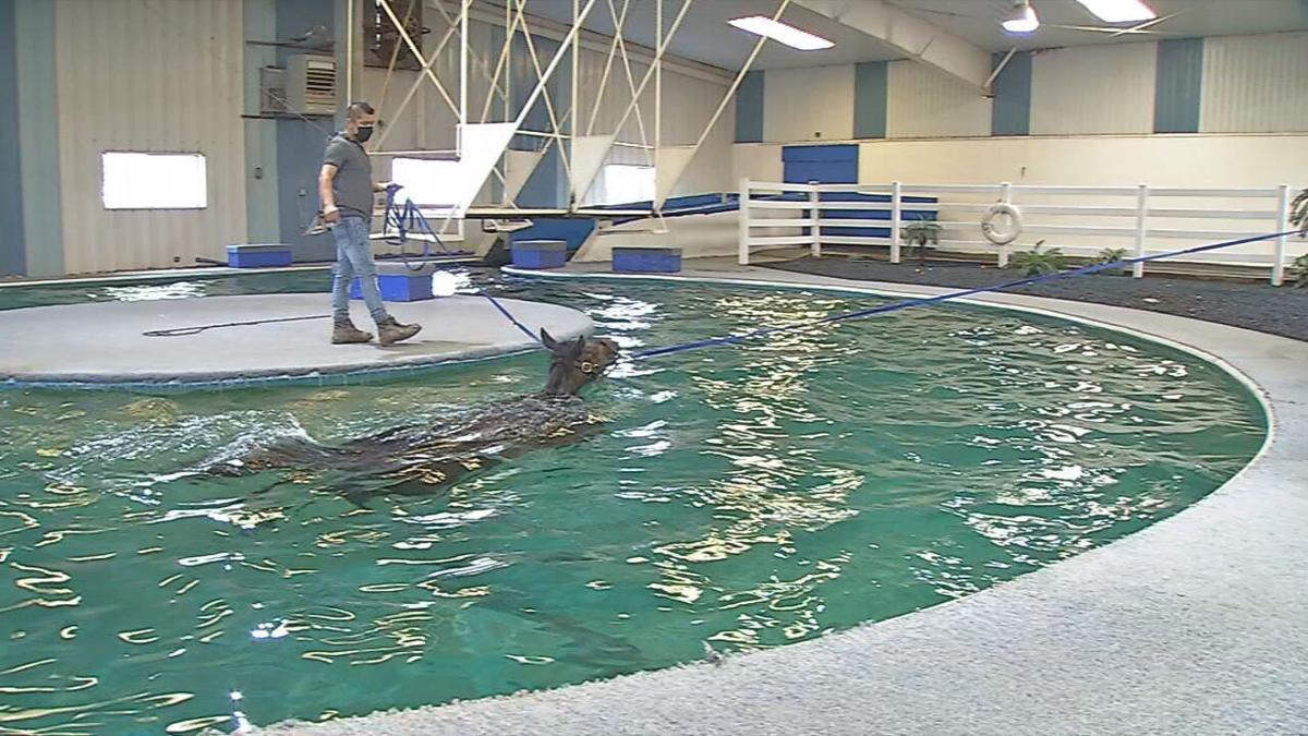 Horse taking laps around the pool