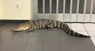 GATOR IN A POST OFFICE -FLORIDA - COURTESY HERNANDO SHERIFF 6-9-2021.jpg