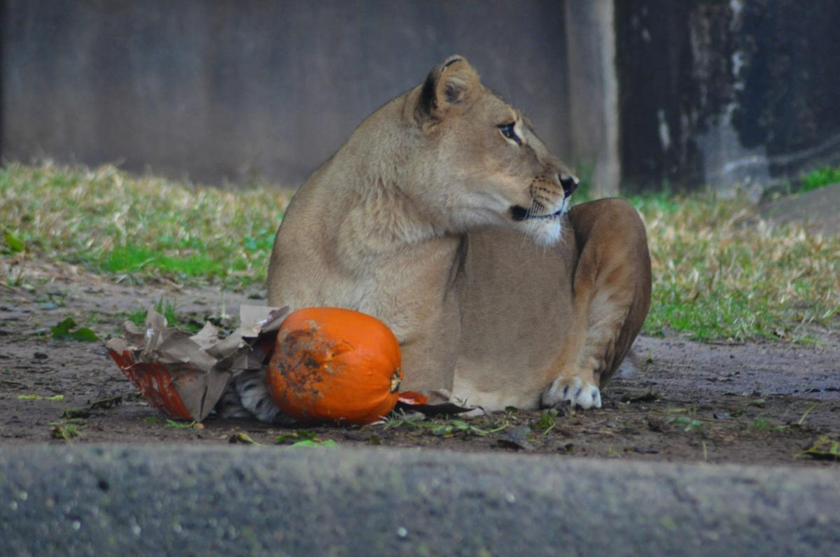 LOUISVILLE ZOO kariba the lion obit 2-1-19 - courtesy zoo.jpg