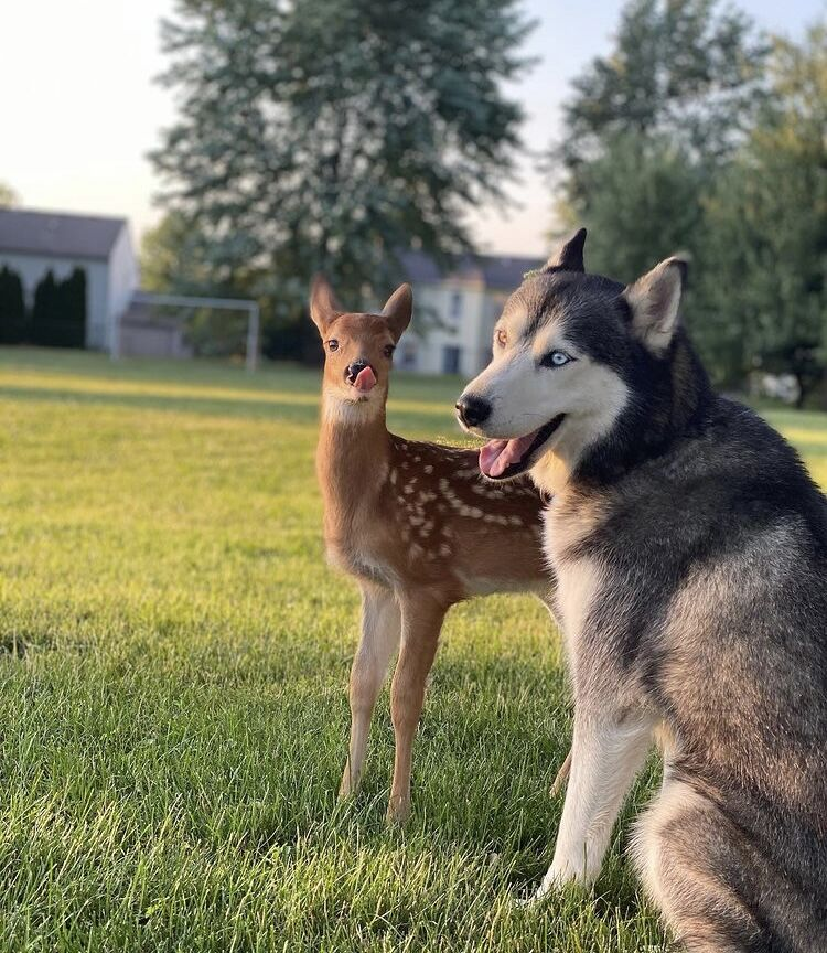 Deer kept as family pet by Saul Lopez Raya and Trixi Lopez in Fishers, Indiana