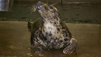 Rona the gray seal at The Louisville Zoo